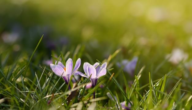 Foto de primer plano de maravillosas flores de azafrán en flor en la hierba verde fresca