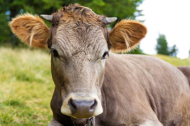 Foto de retrato de una cabeza de vaca joven
