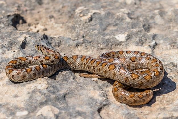 Foto de una serpiente leopardo adulta acurrucada