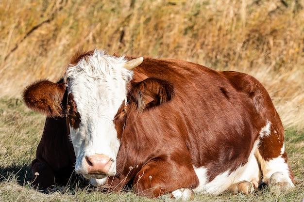 Foto de una vaca marrón con un cuerno