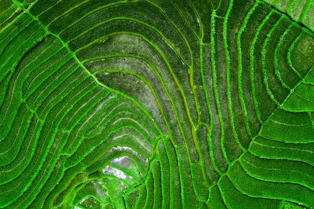 Fotografía aérea de campos de arroz verde
