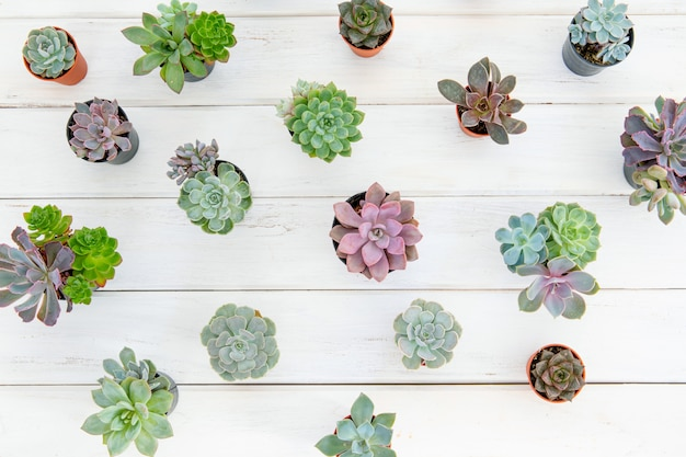 Fotografía cenital de muchas plantas suculentas en maceta sobre mesa de madera blanca, concepto mínimo de jardinería