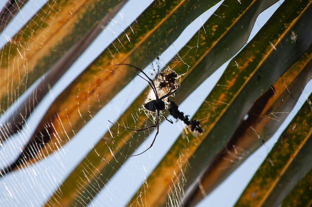 Fotografía macro de una araña negra tejiendo una telaraña sobre un fondo borroso