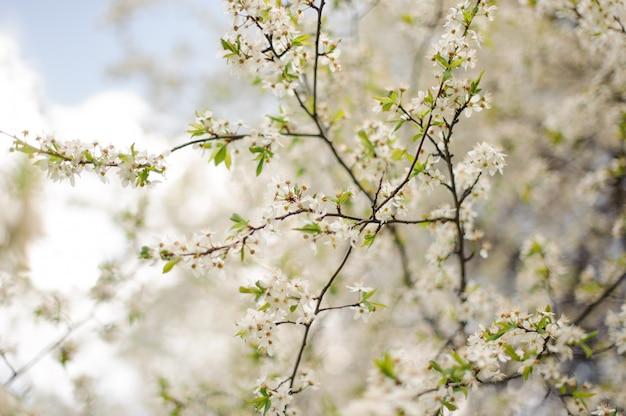 Fotografía macro de un árbol floreciente de cerezo blanco de primavera