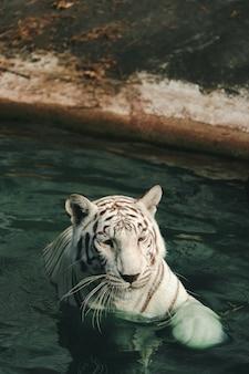 Una fotografía recta de un tigre mirando al fotógrafo.