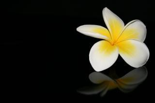 Frangipani flor, perfume