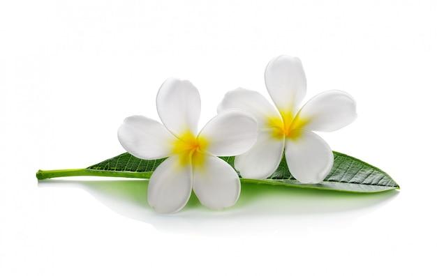 Frangipani flores con hojas aisladas en blanco