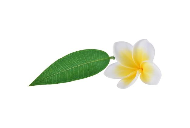 Frangipani de flores tropicales (plumeria) aislado sobre fondo blanco.