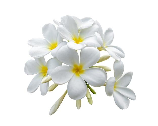 Frangipani de flores tropicales (plumeria) aislado sobre fondo blanco