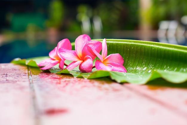 Frangipani rosa cerca de espacio de copia de piscina