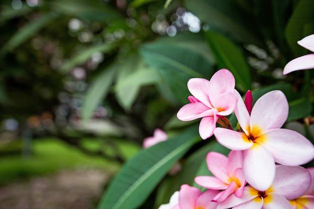 El frangipani rosa con fondo de hojas