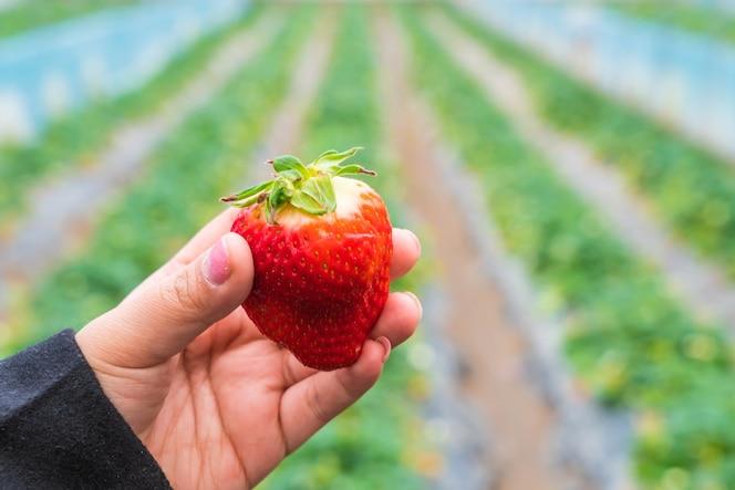 Fresa fresca escogida a mano