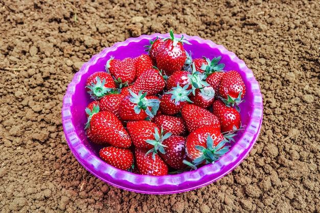Fresas comestibles del jardín maduras en un plato tazón púrpura, de pie sobre suelo arcilloso