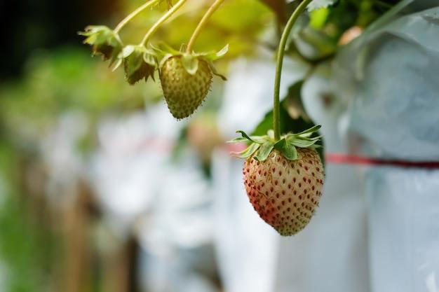 Fresas frescas en el árbol, rojo maduro y verde.