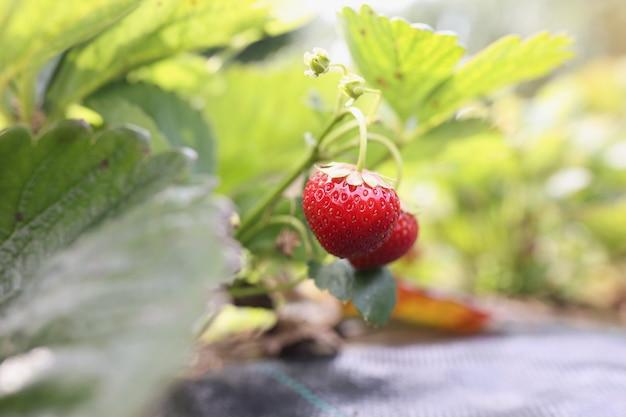 Fresas jugosas rojas maduras en arbustos que crecen y cuidan el concepto de fresas