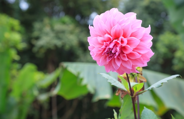 Fresca brillante de la dalia rosada hermosa blooming salvaje ornamental