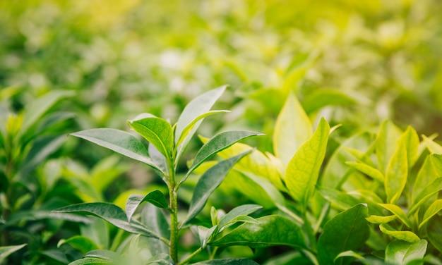 Frescas hojas verdes y amarillas en el jardín.