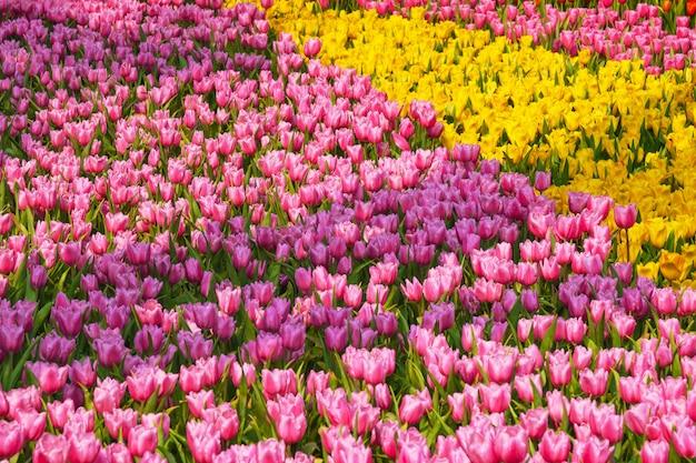 Fresco y natural, un grupo de tulipanes coloridos que florece en el jardín