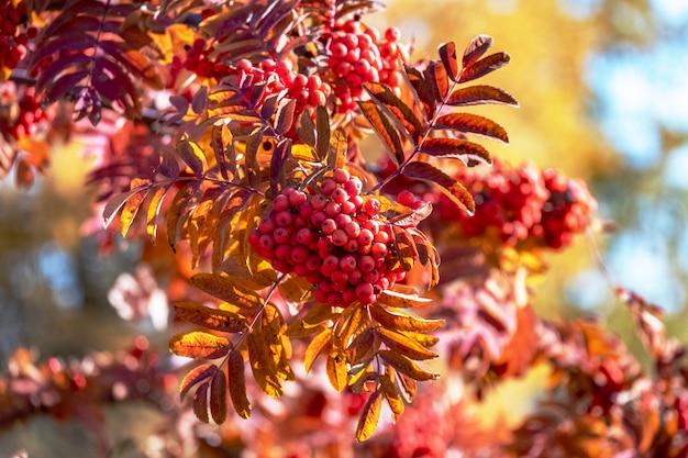 Fresno rojo de montaña crece en el árbol en otoño