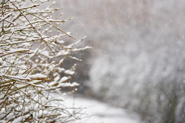 Frost y nieve en las ramas. hermoso fondo estacional de invierno. foto de la naturaleza congelada.