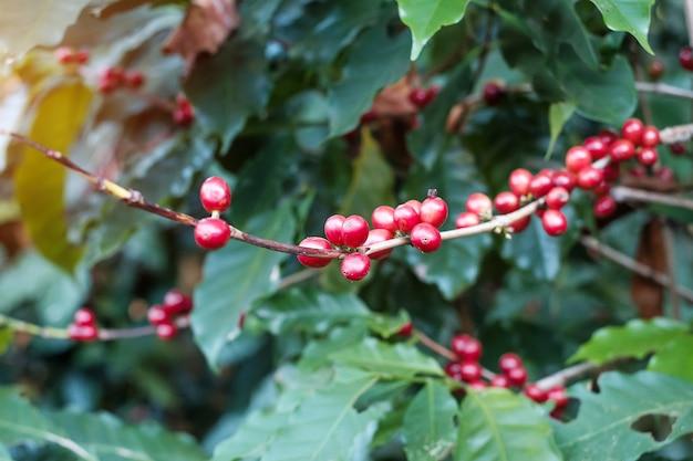 Fruta de cereza de café en su árbol por la mañana, maduración de granos de arábica de café orgánico en fincas y plantaciones