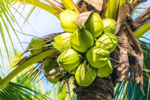 Fruta de coco