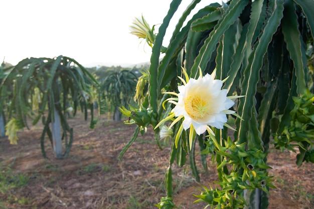 Fruta del dragón en la planta, fruta cruda de pitaya en el árbol es plantación popular en el sudeste de asia