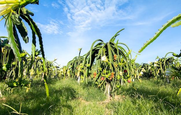 Fruta del dragón en la planta