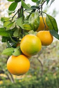 Fruta fresca y saludable de naranja en un árbol que crece.