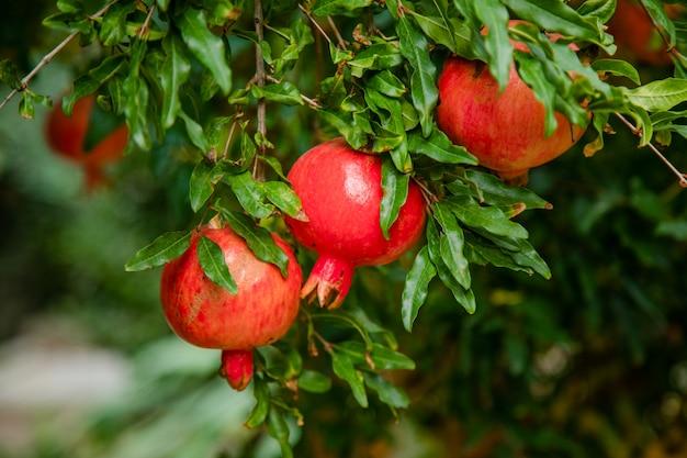 Fruta de granada casi madura colgando en el árbol