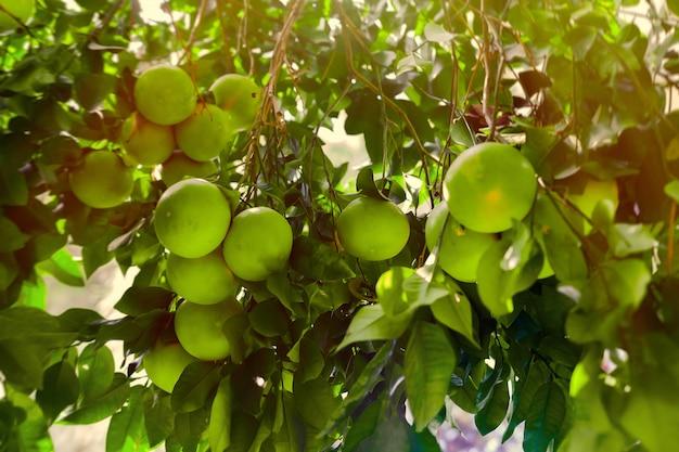 Fruta inmadura del pomelo en ramas de árbol en luz del sol de la puesta del sol.