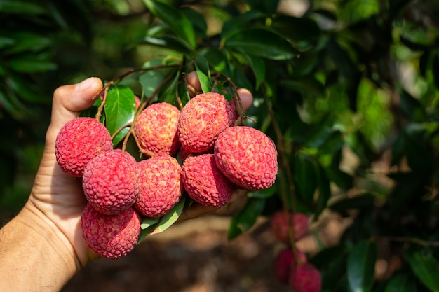 Fruta de lichi