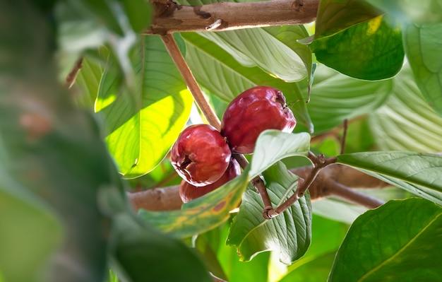 Fruta malaya manzana rosa