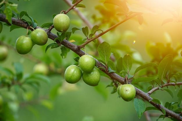 Fruta manzana verde, comida sana