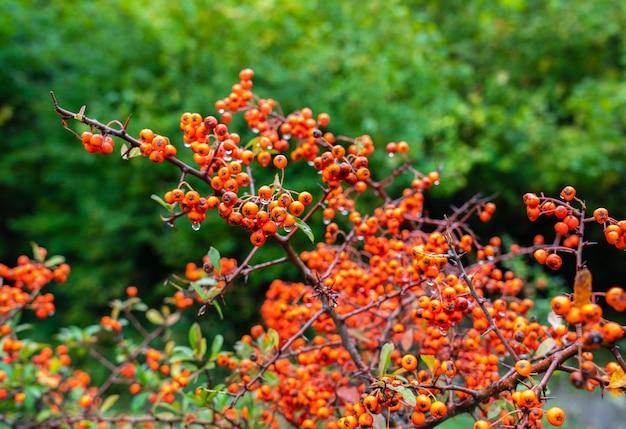 Fruta de pyracantha en una rama