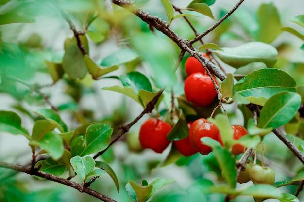 Frutas de acerola en jardín