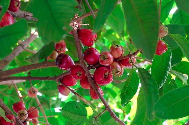 Frutas frescas de manzana rosa roja en el árbol.