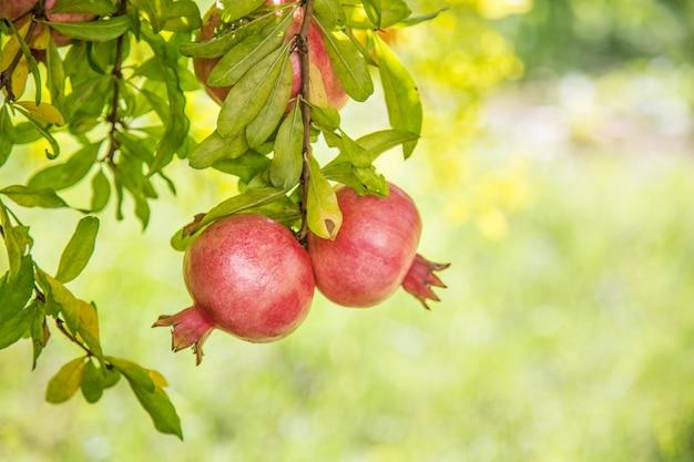 Frutas granadas coloridas maduras en rama de árbol con verde borrosa durante el agradable día de verano.