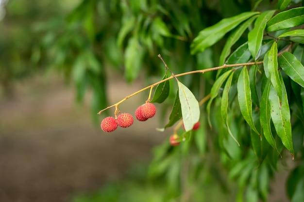 Frutas de lychee de tailandia en los árboles.