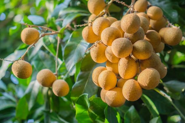 Frutas tropicales joven longan