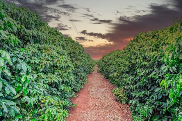 Fruto del café en cafetales y plantaciones en brasil