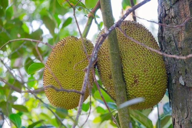 Fruto de la jarra (artocarpus heterophyllus) es un árbol frutal de la familia de la mora.