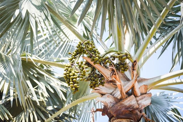 Fruto de palma en plantación palmera jardín tropical verano con hoja verde