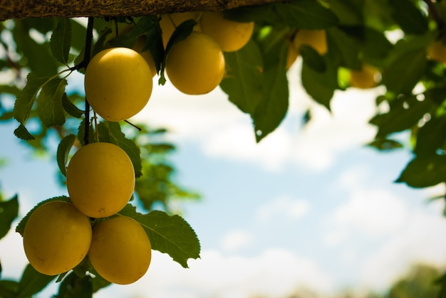 Frutos de ciruelo en árbol.