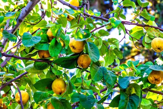 Frutos maduros de membrillo de manzana en árbol