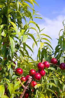 Frutos de nectarina en un árbol con color rojo.