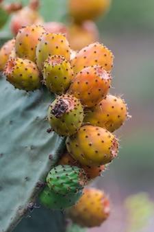 Frutos de pera cactus (opuntia ficus-indica) listos para la cosecha