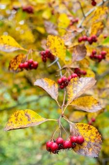 Frutos rojos de espino. hojas amarillas