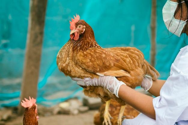 Los funcionarios de ganadería están controlando la salud de los pollos en una granja local en tailandia. haga un control y evite que la causa epidémica provoque la muerte del pollo.