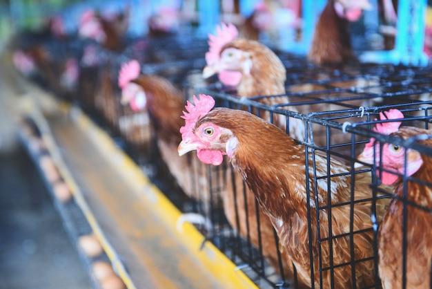 Gallina en la agricultura de jaula en un producto de granja de pollos en el interior con huevo fresco pollo